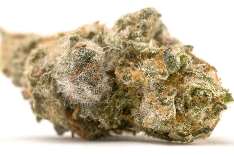 Moldy Cannabis Can Be Fatal 2020